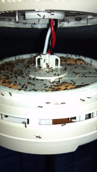Picture of ants in a neglected smoke detector